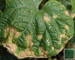 Антракноз (Хвороби огірка, гарбуза, кабачка, патисонів)