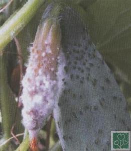 Біла гниль (Хвороби огірка, гарбуза, кабачка, патисонів)