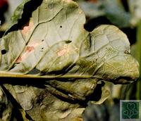 Несправжня борошниста роса (Хвороби капусти)
