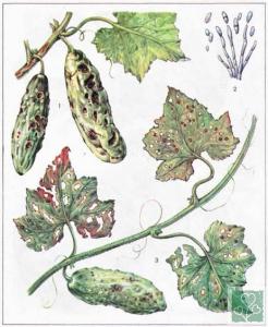 Бура або масляниста плямистість (Хвороби огірка, гарбуза, кабачка, патисонів)