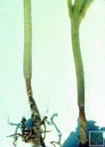 Чорна ніжка (Хвороби капусти)