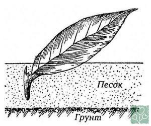 Флоксы. Семь способов размножения (Цветник, Обмен опытом)