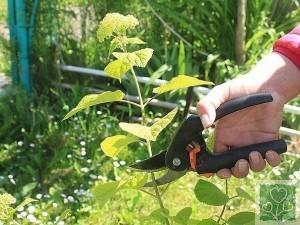 Размножение гортензии черенками (Цветник, Обмен опытом)