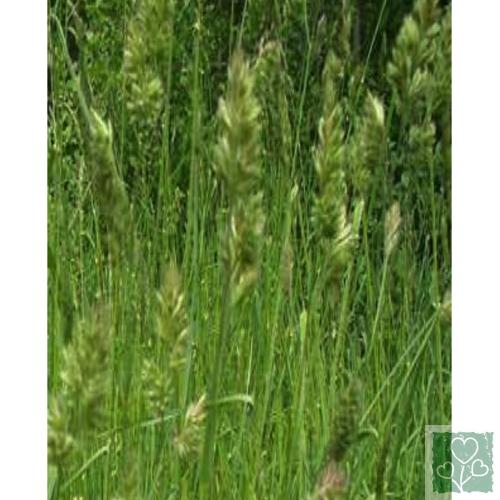 Ежа (Грястица) (Газонные травы)