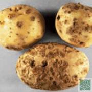 Парша (Хвороби картоплі)