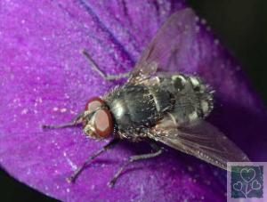 Капустяна муха. (Шкідники капустяних)