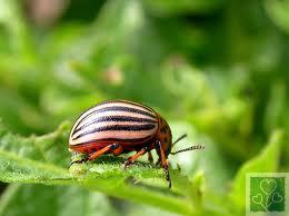 Колорадский жук. (Шкідники картоплі і томату)