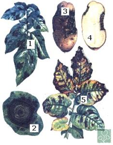 Макроспоріоз (Хвороби томата)