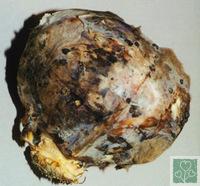 Сіра гниль (Хвороби капусти)