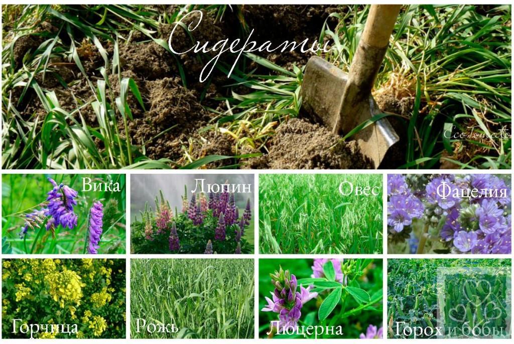 Особенности разных видов сидератов, время и нормы высева, требования к почве  (Сидераты)