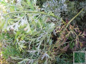 Церкоспороз листя (Хвороби моркви, петрушки, кропу, селери, кмину, пастернаку.)