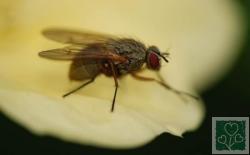 Цибулева муха. (Шкідники цибулі і часнику)