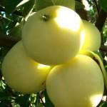 Яблоня «Белый налив»1
