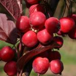 Яблоня-колоновидная-Райская1