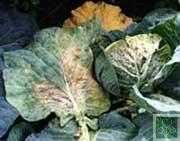 Судинний бактеріоз (Хвороби капусти)