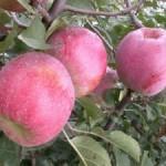 Яблони зимние