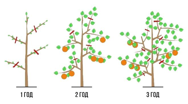 Уход и выращивание яблонь 42