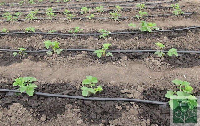 Как спасти огород от жары (Огород, Обмен опытом)