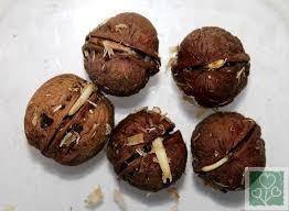 Уникальный секрет пророщенного ореха (Здоровый образ жизни, Без рубрики)