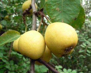 лимонка
