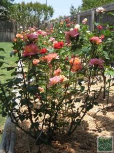 Королева сада роза. Мульчирование (Цветник, Обмен опытом)