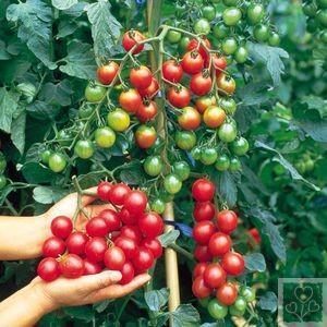 pomidory-cherry