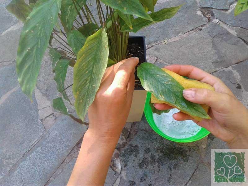 Паутинный клещ на комнатных растениях (Цветник, Обмен опытом)