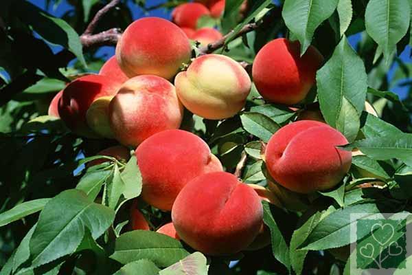 Курчавость листьев персика меры борьбы (Сад)