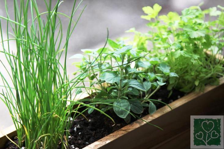 Вирощування зелені на підвіконні (Здоровый образ жизни, Без рубрики)