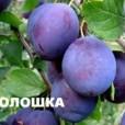 voloshka-300x237